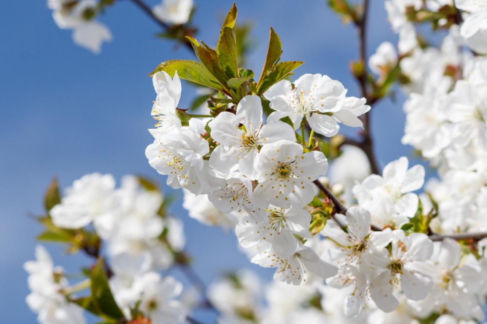 Blühender Baum für den Garten - Bartos Hagen