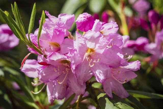 Rhododendron Pflege - Bartos Hagen